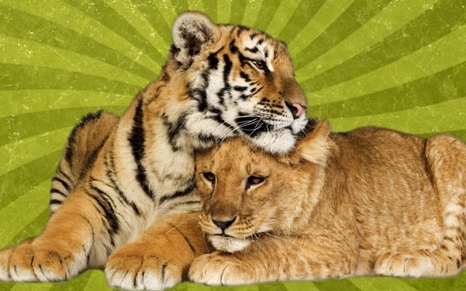 Коллаж влюбленные тигры